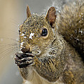 Gray Squirrel - D008392  by Daniel Dempster