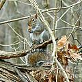 Gray Squirrel - Sciurus Carolinensis by Mother Nature