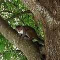 Gray Squirrel by Zech Browning