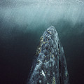 Gray Whale Magdalena Bay Baja California by Tui De Roy