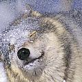 Gray Wolf Canis Lupus Shaking Snow Off by Thomas Kitchin & Victoria Hurst