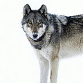 Gray Wolf by Deby Dixon