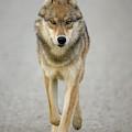 Gray Wolf Denali National Park Alaska by Yva Momatiuk John Eastcott