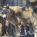 Gray Wolf by Dianne Phelps