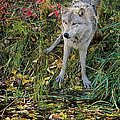 Gray Wolf Drinking by Eric Albright