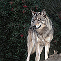 Gray Wolf Endangered Species Wildlife Rescue by Dave Welling