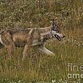 Gray Wolf Hunting by Ron & Nancy Sanford