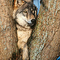 Gray Wolf In Tree Canis Lupus by David Davis