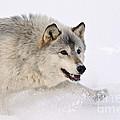 Gray Wolf by John Shaw
