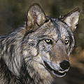 Gray Wolf Portrait Endangered Species Wildlife Rescue by Dave Welling