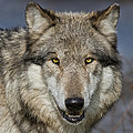 Gray Wolf Portrait by Martin Belan