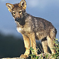 Gray Wolf Pup Montana by Tim Fitzharris