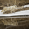 Gray Wolf Reflection by Elaine Haberland