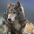 Gray Wolf Resting North America by Tim Fitzharris