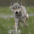 Gray Wolf Walking Through Water by Tim Fitzharris