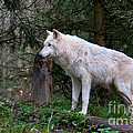 Gray Wolf White Morph by Mark Newman