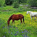 Grazing Amongst The Wildflowers by Karol Livote