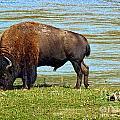 Grazing Bison Along The Yellowstone by Stuart Gordon