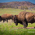 Grazing Bison by Inge Johnsson