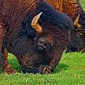 Grazing Buffaloes by Denise Mazzocco
