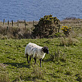 Grazing By The Sea by Bill Cannon