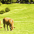 Grazing Cows by Amanda Elwell