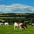 Grazing Cows by Kevin Round