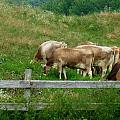 Grazing Cows by MTBobbins Photography