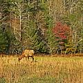 Grazing Elk by Skip Willits