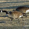 Grazing Geese by Lori Tordsen