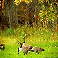 Grazing Geese by Michael DArienzo