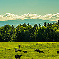 Grazing Holsteins by Sherman Perry