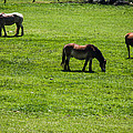Grazing Horses by Jay Stockhaus