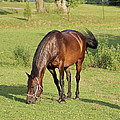 Grazing Mare by Lorna R Mills DBA  Lorna Rogers Photography