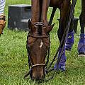 Grazing Polo Pony by Joyce Charron