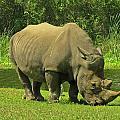 Grazing Rhino by MTBobbins Photography