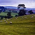 Grazing Sheep Emerald Isle by Thomas R Fletcher