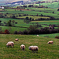 Grazing Sheep In Green Fields by Thomas R Fletcher