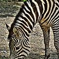 Grazing Zebra At The Buffalo Zoo 2 by Michael Frank Jr