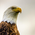 Great American Bald Eagle Homer Alaska by Natasha Bishop