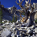 Great Basin Bristlecone by Ray Mathis