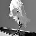 Great Beautiful Egret by David Lee Thompson