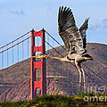 Great Blue At The Golden Gate by Kate Brown