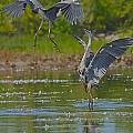 Great Blue Battle by Joshua McCullough