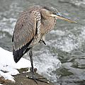 Great Blue Heron 1 by Chris Post