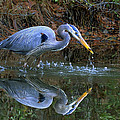 Great Blue Heron #1 by William McEvoy
