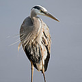 Great Blue Heron 2 by Sharon Talson
