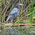 Great Blue Heron 9 by Terry Elniski