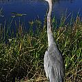 Great Blue Heron by Adriann Partrick