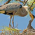 Great Blue Heron Adult Feeding Nestling by Millard H. Sharp
